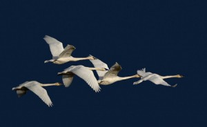 Trumpeters in flight. Photo by Hal Everett